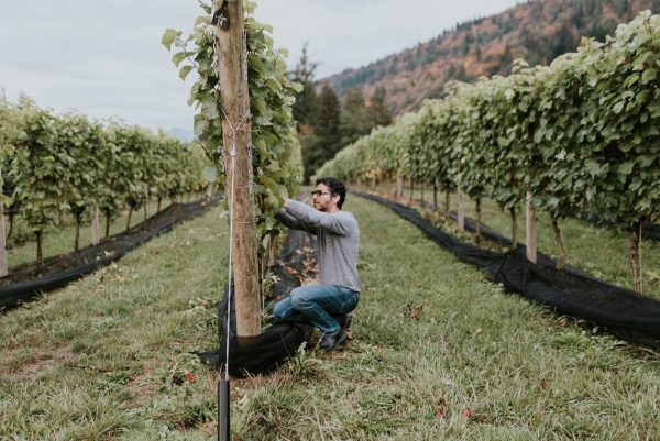 Laurent works in the vineyard of the Whispering Horse winery